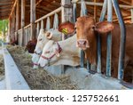 thai cows feeding hay in the... | Shutterstock . vector #125752661