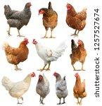 rooster chicken hen cock... | Shutterstock . vector #1257527674