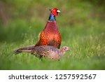 Pair Of Common Pheasants ...