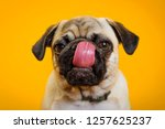 Stock photo dog pug on a yellow background little dog dog s head dog muzzle with pink tongue 1257625237