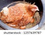 the hen is hatching the egg in... | Shutterstock . vector #1257639787