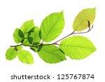 branch of a hornbeam tree ...   Shutterstock . vector #125767874