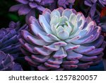 Close Up Succulents Colorful...