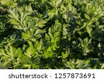 celery cultivation background...   Shutterstock . vector #1257873691