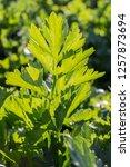 fresh green celery leaves...   Shutterstock . vector #1257873694