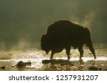 Silhouette Of European Bison ...