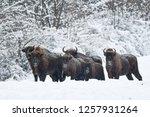 wisent  bison bonasus  in a... | Shutterstock . vector #1257931264