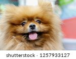 Stock photo grooming dog in pet shop 1257933127