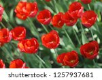 many red tulbpans. | Shutterstock . vector #1257937681