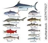 commercial fish species. vector ...   Shutterstock .eps vector #1257977017