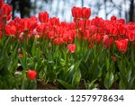 tulips from istanbul | Shutterstock . vector #1257978634