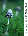 the shaggy ink cap | Shutterstock . vector #1258049761
