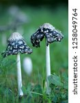 the shaggy ink cap | Shutterstock . vector #1258049764