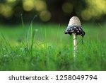 the shaggy ink cap | Shutterstock . vector #1258049794