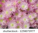 lampranthus pink flower   Shutterstock . vector #1258073977