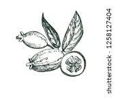 collection of feijoa fruit ... | Shutterstock .eps vector #1258127404