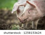 pigs eating on a meadow in an... | Shutterstock . vector #1258153624