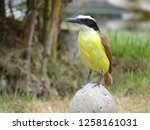 a yellow brown bird looking for ... | Shutterstock . vector #1258161031