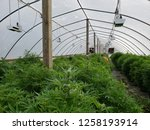 Commercial hemp farming in a...