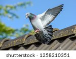 Racing Pigeon Comes Home And...