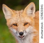 Red Fox Face Shot   Close Up