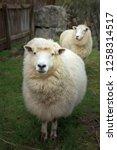 face of merino sheep in new... | Shutterstock . vector #1258314517