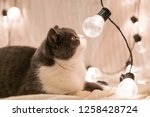 cute british short haired cat ... | Shutterstock . vector #1258428724