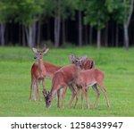 Small Whitetail Deer Herd...