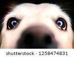 dog in studio  black labrador ... | Shutterstock . vector #1258474831