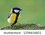 great tit  parus major  is a...   Shutterstock . vector #1258616821