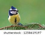 eurasian blue tit  cyanistes...   Shutterstock . vector #1258619197