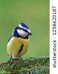 eurasian blue tit  cyanistes...   Shutterstock . vector #1258620187