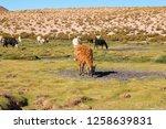 llamas  lama glama  early in... | Shutterstock . vector #1258639831