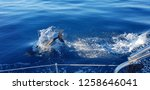 dolphins in the algarve... | Shutterstock . vector #1258646041