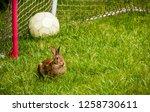 wild cottontail rabbit in... | Shutterstock . vector #1258730611