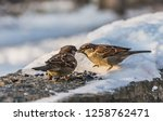 Two Gray And Brown Sparrows Sit ...