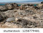 south plaza island  galapagos   ... | Shutterstock . vector #1258779481
