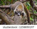 exemplary of coat   nasua... | Shutterstock . vector #1258850197