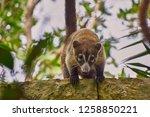 exemplary of coat   nasua... | Shutterstock . vector #1258850221