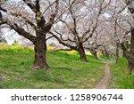 sakura blossoms at kumagaya... | Shutterstock . vector #1258906744