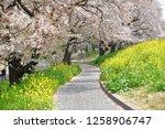 sakura blossoms at kumagaya... | Shutterstock . vector #1258906747