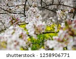 sakura blossoms at kumagaya... | Shutterstock . vector #1258906771