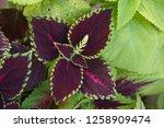coleus  solenostemon ... | Shutterstock . vector #1258909474