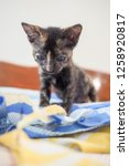 Stock photo cute tortoise shell color kitten or calico kitten sit on blue and yellow blanket in the house look 1258920817