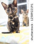 Stock photo cute tortoise shell color kitten or calico kitten sit on blue and yellow blanket in the house look 1258922191