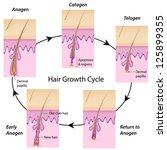 Hair growth cycle - stock vector