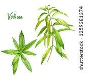 Lemon Verbena  Watercolour...
