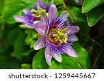 purple and white flower of the...   Shutterstock . vector #1259445667