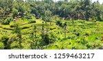 rice terrace. sunny day on rice ... | Shutterstock . vector #1259463217