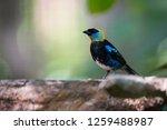 golden hooded tanager  tangara...   Shutterstock . vector #1259488987